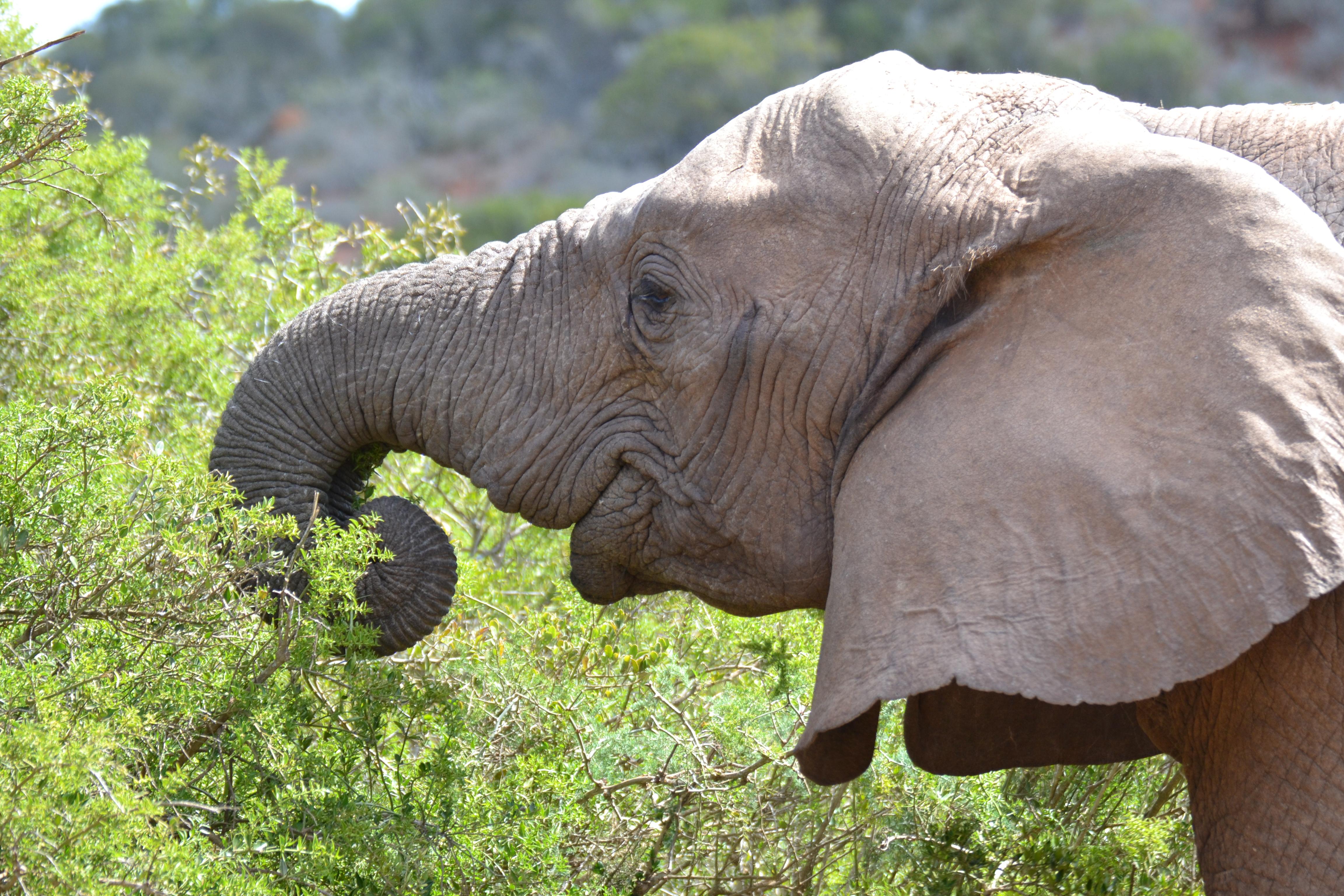 Elefant im Addo National Park